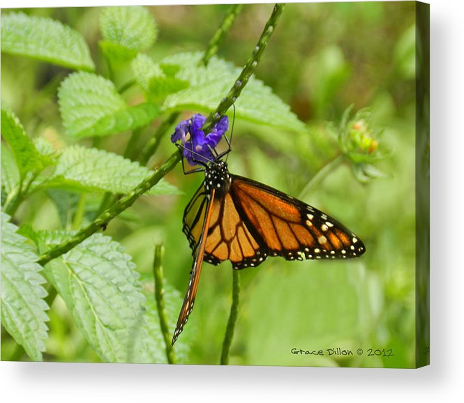 Monarch Acrylic Print featuring the photograph Royal Feast by Grace Dillon