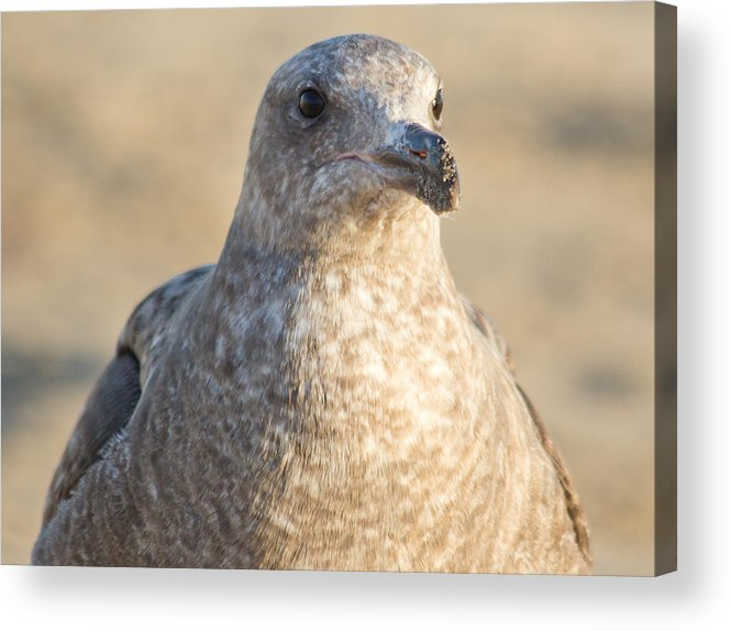 Seagull Acrylic Print featuring the photograph Sandy Beaks by Kittysolo Photography