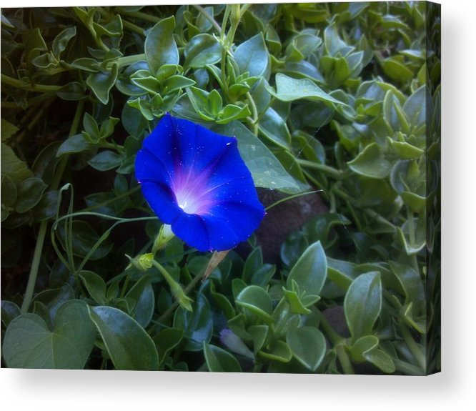 Morning Glory Acrylic Print featuring the photograph Sneaky Glory by Staci Black