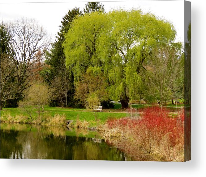 Willow Acrylic Print featuring the photograph Spring Willow by Azthet Photography