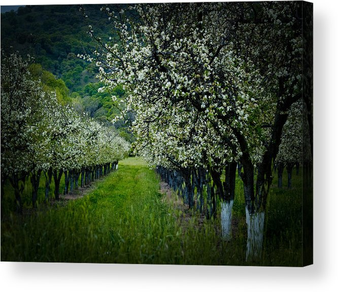 Spring Acrylic Print featuring the photograph Springtime In The Orchard II by Bill Gallagher