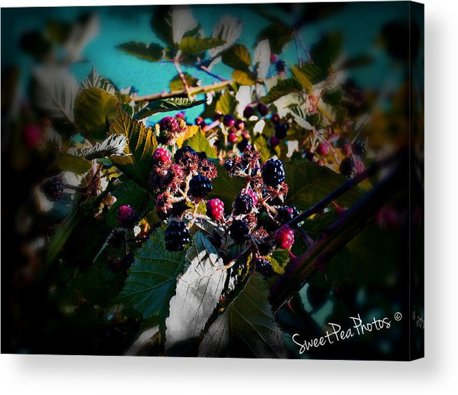 Blackberries Acrylic Print featuring the photograph Summer Blackberries by Megan Robinson