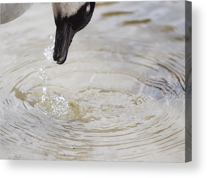Geese Acrylic Print featuring the photograph Thirsty by Ellen Lewis