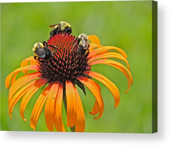 Coneflower Acrylic Print featuring the photograph Three's Company by Eve Spring