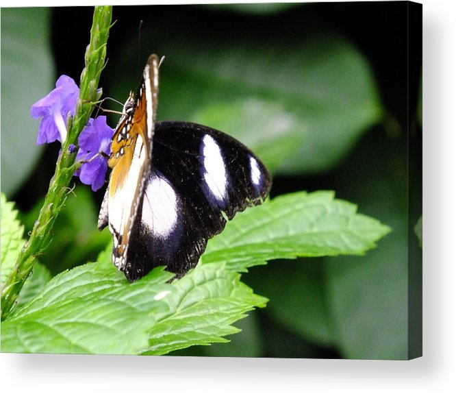Butterfly Acrylic Print featuring the photograph Two Faced by Peggy King