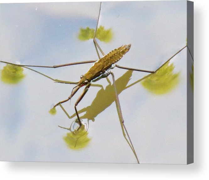 Water Acrylic Print featuring the photograph Water Strider by Azthet Photography