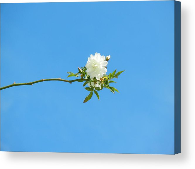Nature Acrylic Print featuring the photograph White Rose II by M S