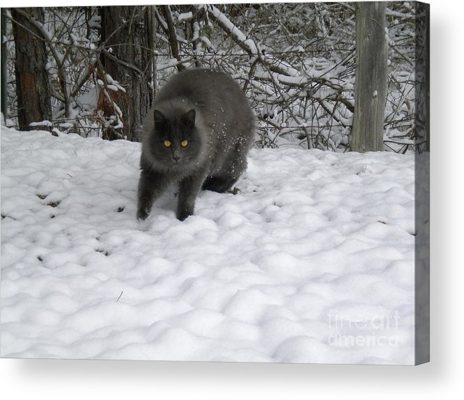 Domesticated Animal Acrylic Print featuring the photograph Winter Cat by Tessa Priddy