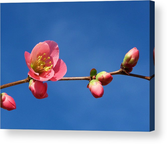 Nature Acrylic Print featuring the photograph Bloomers by Karen Scovill