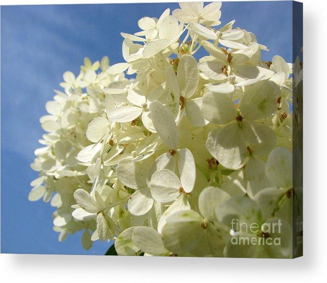 Hydranga Acrylic Print featuring the photograph Hydrangea by Amanda Barcon