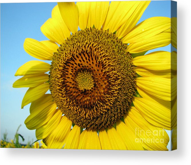 Sunflower Acrylic Print featuring the photograph Sunflower Series by Amanda Barcon