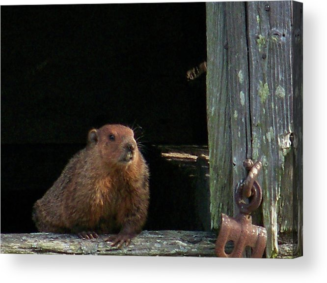 Groundhog Acrylic Print featuring the photograph 5003-groundhog by Martha Abell