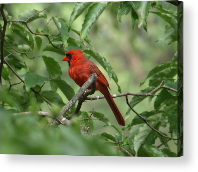 Red Acrylic Print featuring the photograph A Cardinal Day by Kim