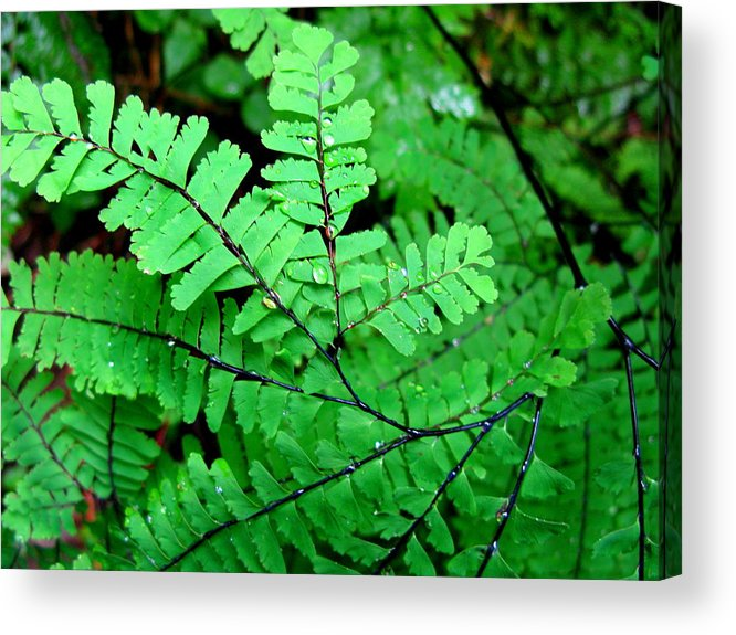 Maiden Hair Fern Acrylic Print featuring the photograph A Maiden's Crown by PJ Cloud