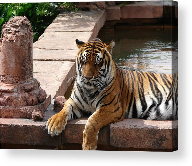 Tiger Acrylic Print featuring the photograph A Regal King by Reel Shots