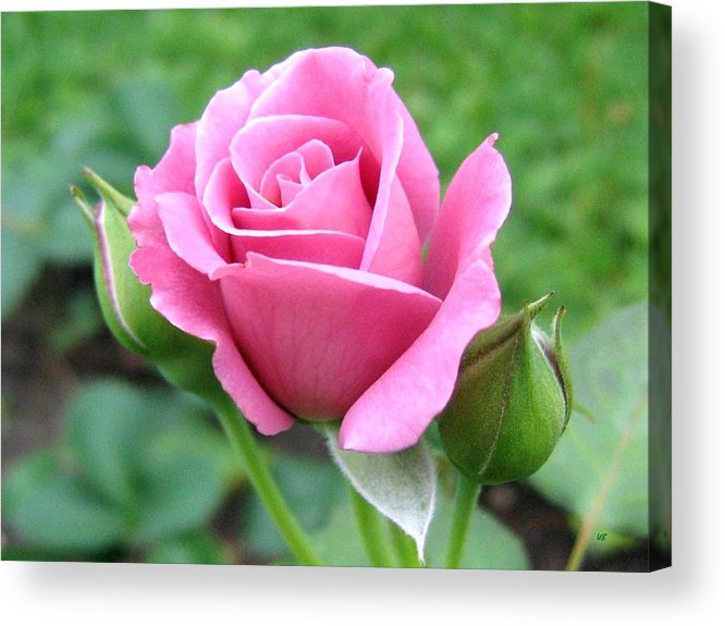 Rose Acrylic Print featuring the photograph Angel Face Rose by Will Borden