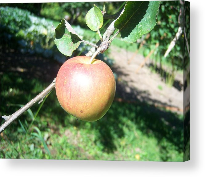 Apple Acrylic Print featuring the photograph Apple 104 by Ken Day