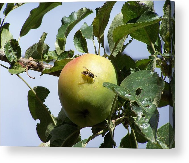 Apple Acrylic Print featuring the photograph Apple Bee by Gene Ritchhart