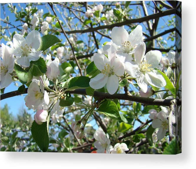 �blossoms Artwork� Acrylic Print featuring the photograph Apple Blossoms Art Prints 60 Spring Apple Tree Blossoms Blue Sky Landscape by Baslee Troutman