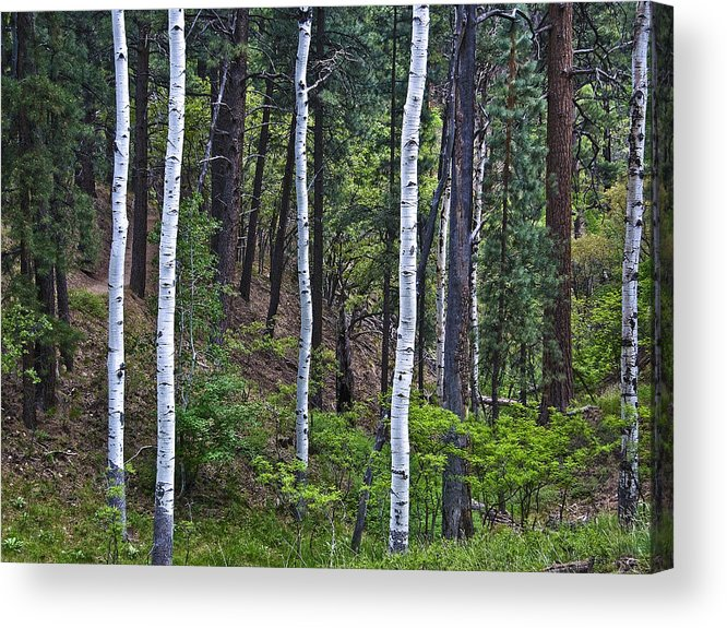 Aspens Acrylic Print featuring the photograph Aspens In The Woods by Neil Doren