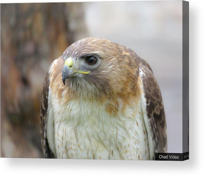 Red-tail Hawk Acrylic Print featuring the photograph Audubon Quality by Chad Vidas