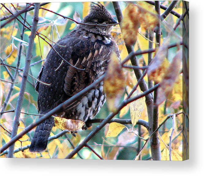 Grouse Acrylic Print featuring the photograph Autumn Colors by Athena Ellis