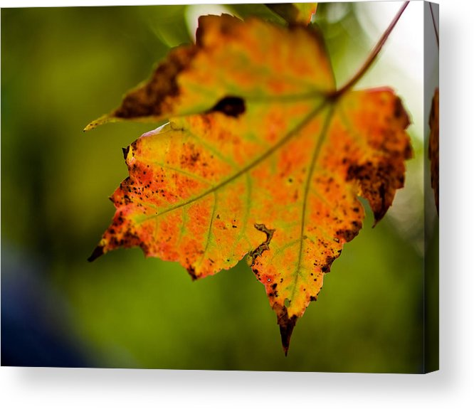 Autumn Acrylic Print featuring the photograph Autumn Leaf by Jim DeLillo