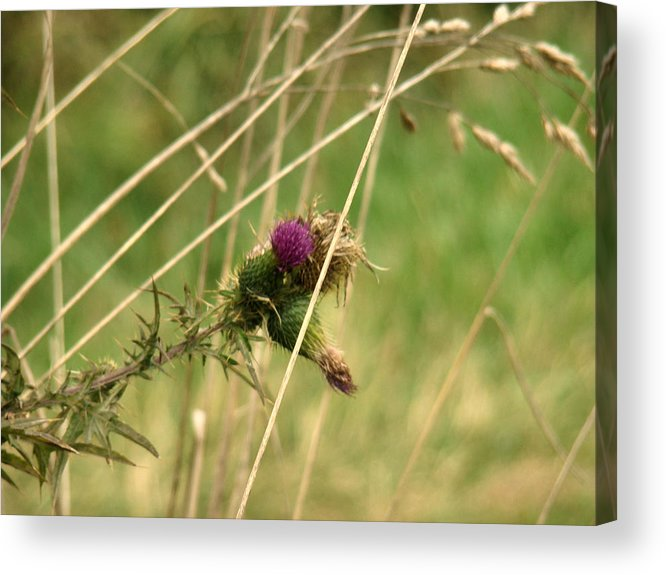 Photograph Acrylic Print featuring the pyrography Autumn Thistle by Tingy Wende