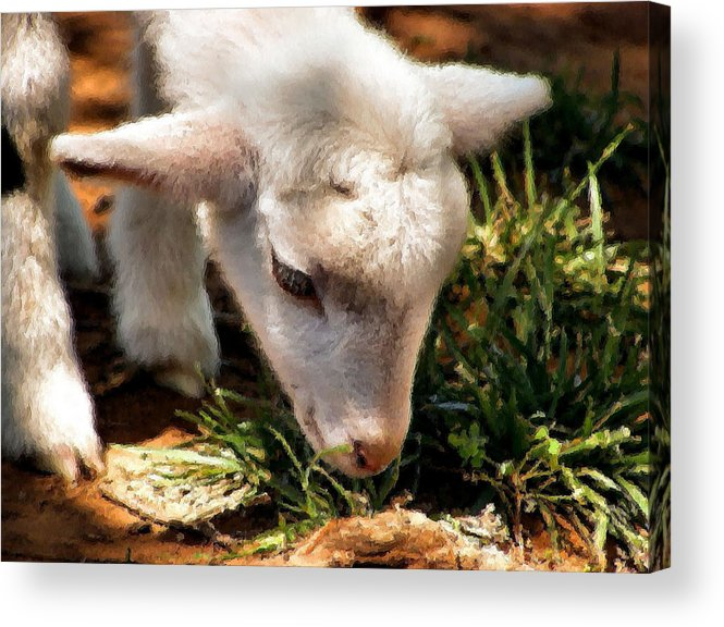 Sheep Acrylic Print featuring the photograph Baby Cakes by Karen Scovill