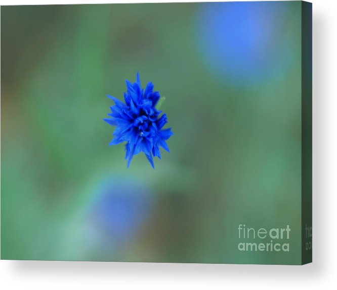 Bachelor Buttons Acrylic Print featuring the photograph Bachelor Button Blues Ll by Michelle Hastings