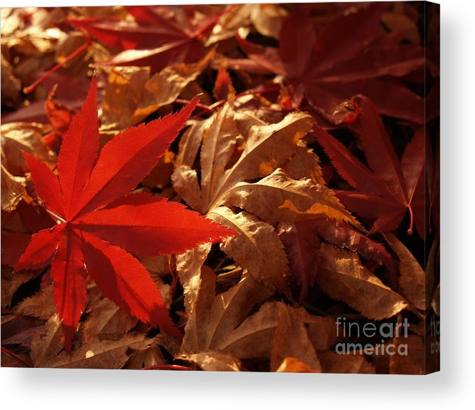 Leaf Acrylic Print featuring the photograph Back-lit Japanese Maple Leaf On Dried Leaves by Anna Lisa Yoder