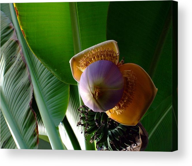 Banana Acrylic Print featuring the photograph Banana Bloom by Mindy Newman