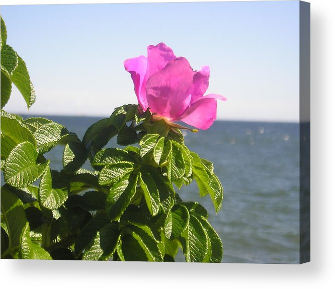 Pink Rose Acrylic Print featuring the photograph Beach Rose by Donna Davis