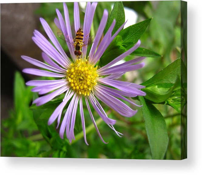 Bee Acrylic Print featuring the photograph Bee On Wildflower by Melissa Parks