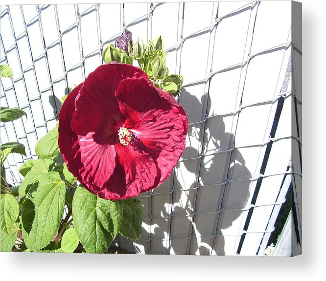 Floral Acrylic Print featuring the photograph Blood Red Hisbiscus by Barbara Harris