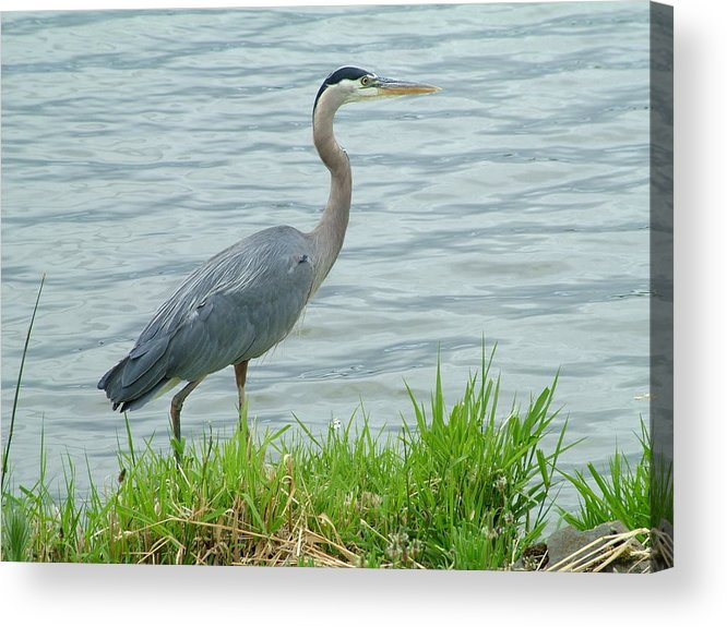 Blue Heron Acrylic Print featuring the photograph Blue Heron By The Lake by Nick Gustafson