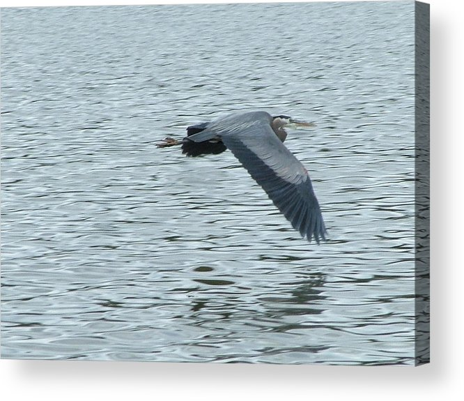 Blue Heron Acrylic Print featuring the photograph Blue Heron In Flight by Nick Gustafson