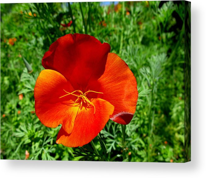 Red Poppy Acrylic Print featuring the photograph Bold Beauty by PJ Cloud