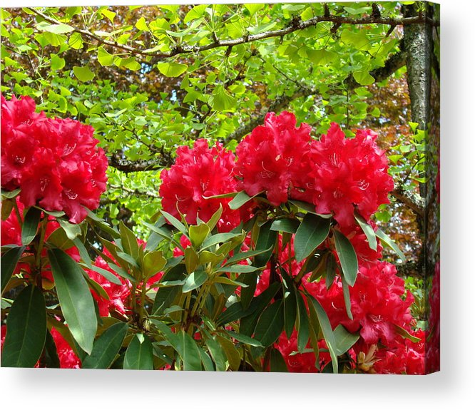 Rhodies Acrylic Print featuring the photograph Botanical Garden Art Prints Red Rhodies Trees Baslee Troutman by Baslee Troutman