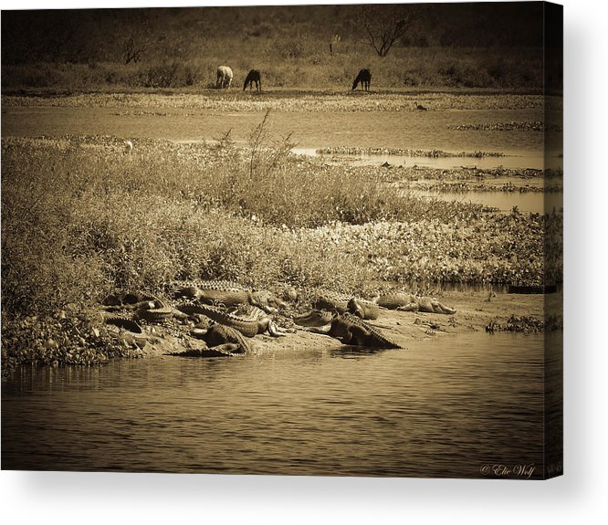Alligators Acrylic Print featuring the photograph Bounty by Elie Wolf
