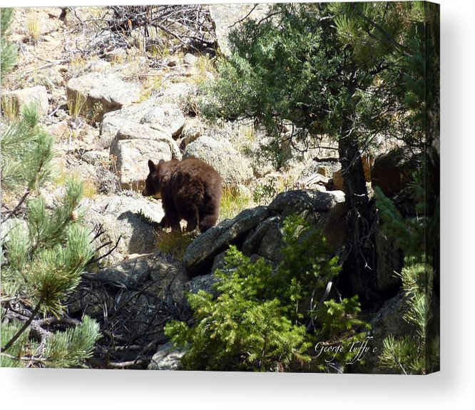 Wildlife Bear Rocky Mountains Nature Forest Rocks Acrylic Print featuring the photograph Brown Bear by George Tuffy