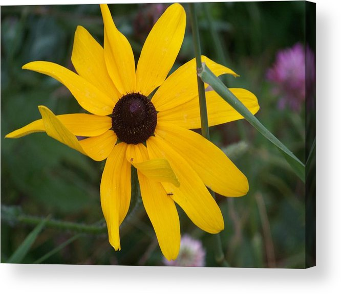 Yellow Flower Acrylic Print featuring the photograph Brown Eyed Susan by Donna Davis