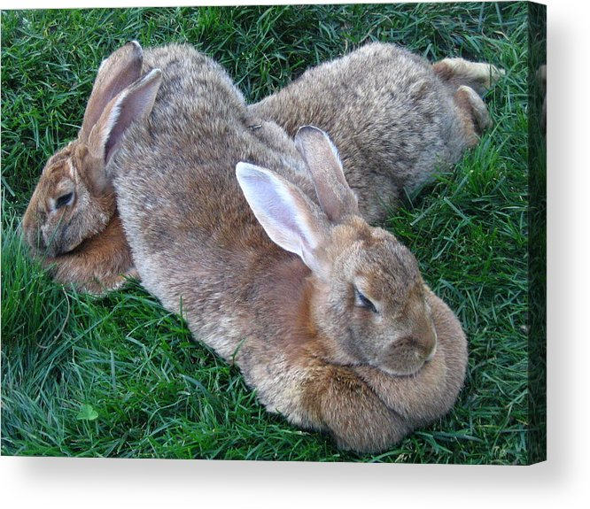 Rabbit Acrylic Print featuring the photograph Brown Rabbits by Melissa Parks