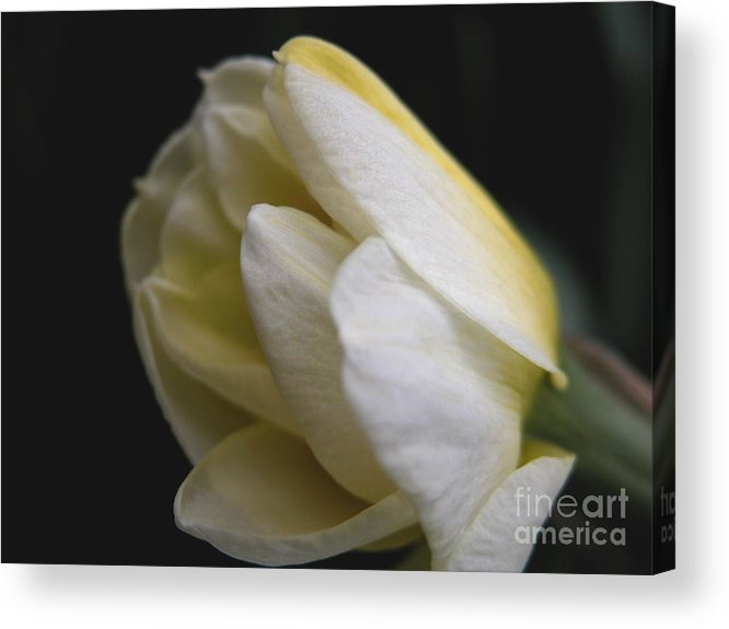 Flower Acrylic Print featuring the photograph Budding Narcissus by Michelle Hastings