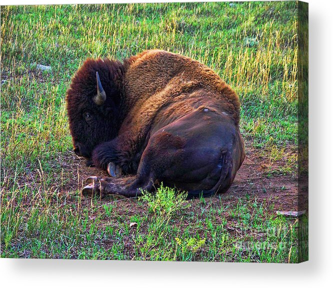 Buffalo Acrylic Print featuring the photograph Buffalo In The Badlands by Tommy Anderson