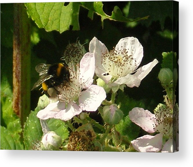 Bee Acrylic Print featuring the photograph Bumblebee by Dan Anning