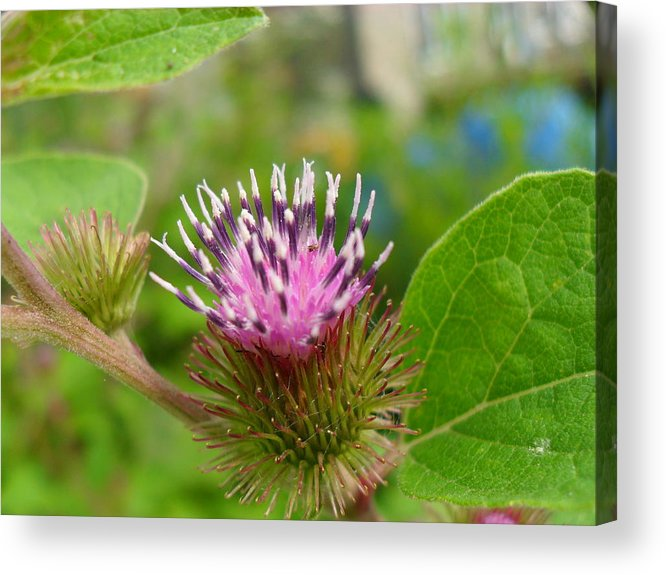 Burdock Acrylic Print featuring the photograph Burdock by Peggy King