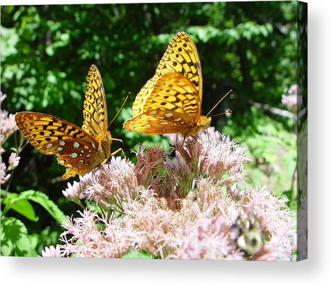 Nature Acrylic Print featuring the photograph Butterflies by Eric Workman