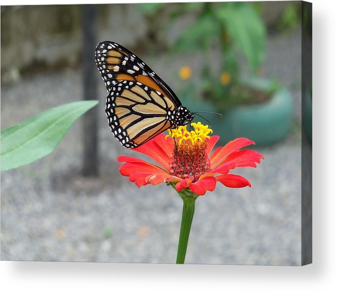 Butterfly Acrylic Print featuring the photograph Butterflies Lunch by William Patterson