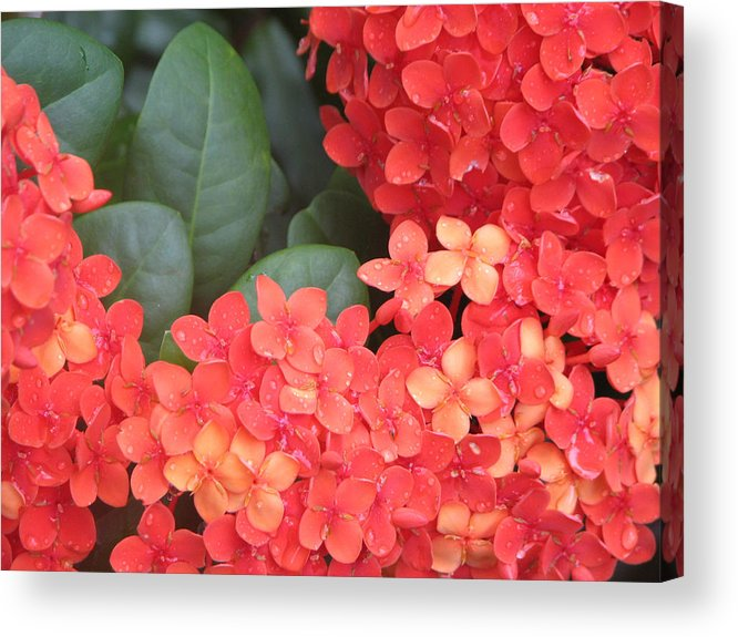 Flower Acrylic Print featuring the photograph Caribbean Beauty by Ginger Howland
